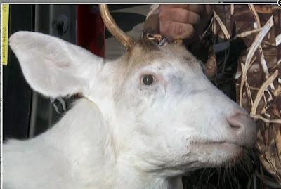 Albino Deer Killed by 11 Year Old