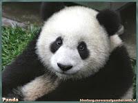 gambar panda raksasa
