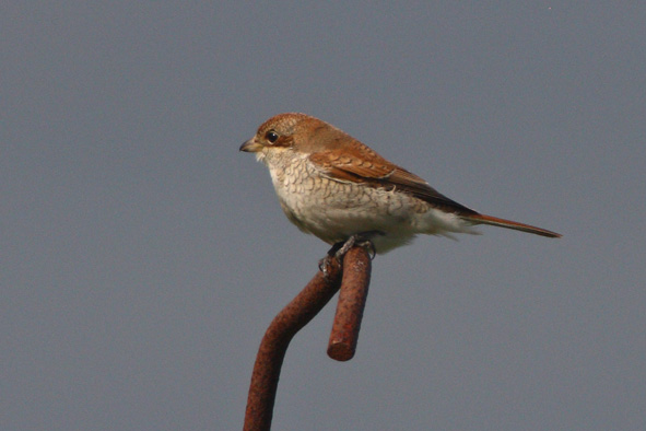 RED BACKED SHRIKE-FRODSHAM MARSHES-10TH SEPTEMBER 2010