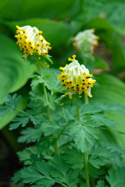 Corydalis nobilis