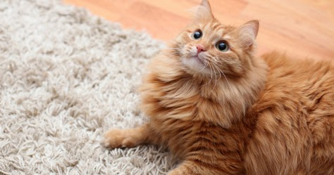 remove all how to remove cat urine stains from carpet. Black Bedroom Furniture Sets. Home Design Ideas