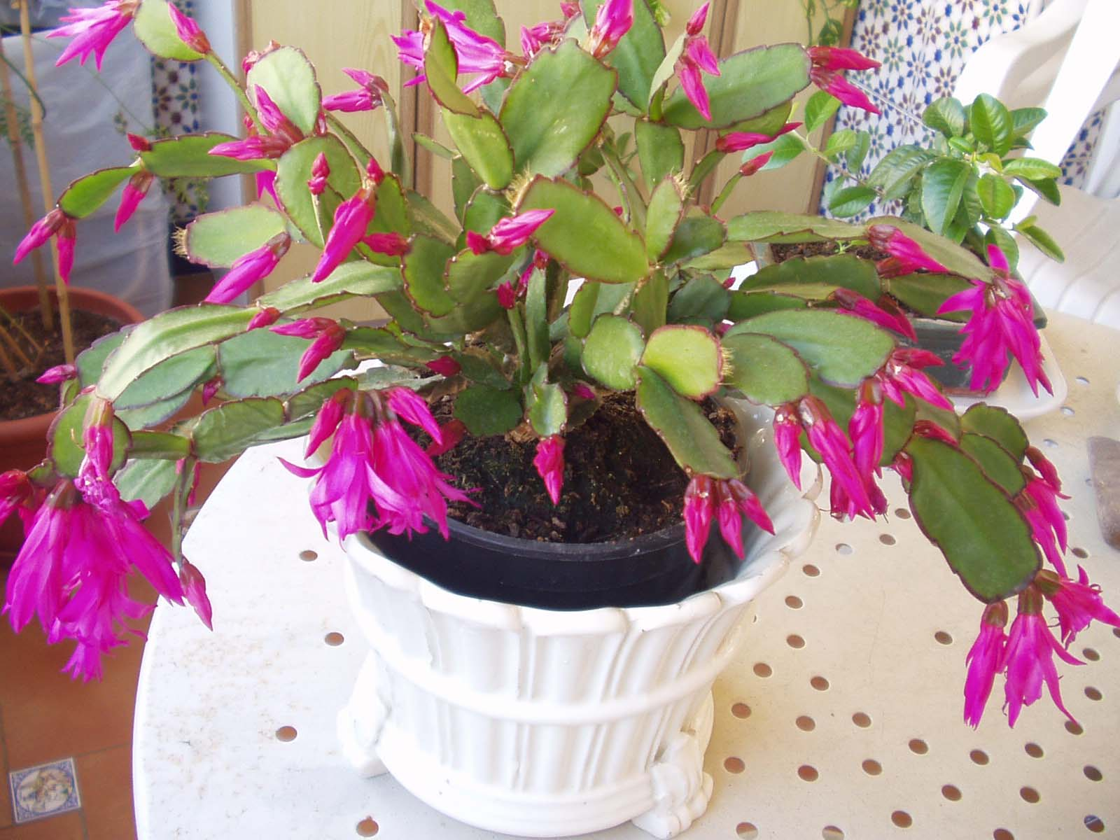 Las plantas de felisa for Cactus de navidad