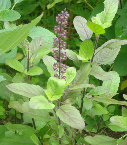 Holy Basil (Tulsi)   Spices of Kitchen