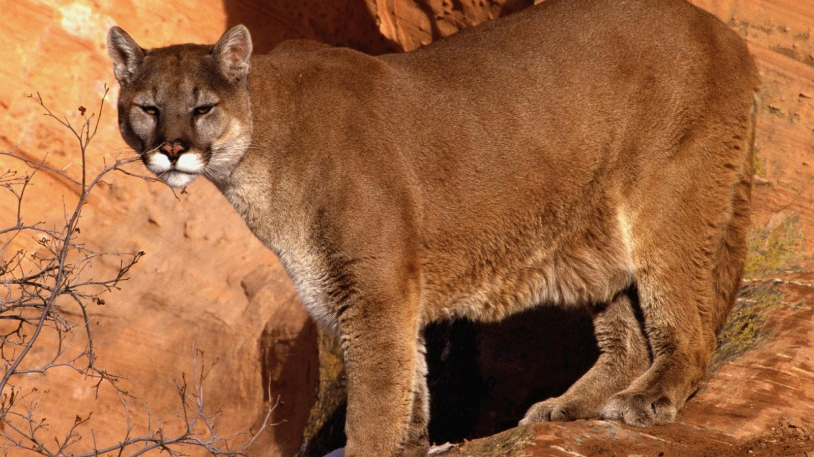 mountain lion Mountain lion fur is unspotted and tan-brown in color with a whitish throat, belly and inner legs the back of the ears and the tip of the tail are black powerful neck and jaw muscles allow mountain lions to grasp and carry prey.