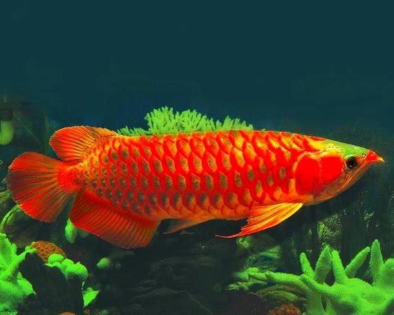 Ikan Hias yangMemiliki Harga Fantastis | Mahal dan Termahal