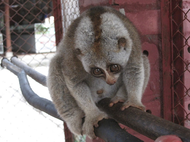 Cute slow loris by snowflakegirl from flickr (CC-BY)