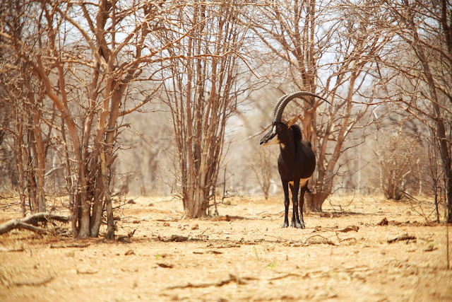 Sable Antelope, Chobe National Park, Botswana - Kim Jay Photography
