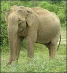 Elephanus Sumatrensis -sp
