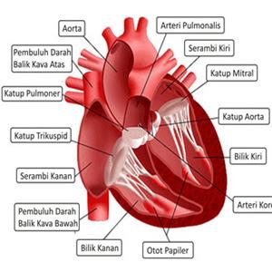 Makalah Anatomi Fisiologi Sistem Kardiovaskuler