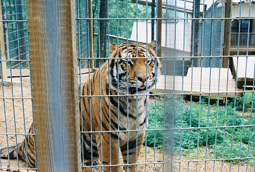 Lame cherry feb 3 2013 - Tiger in cage images ...