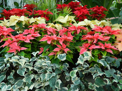 Allan Gardens Conservatory 2015 Christmas Flower Show layers red pink white poinsettias by garden muses-not another Toronto gardening blog