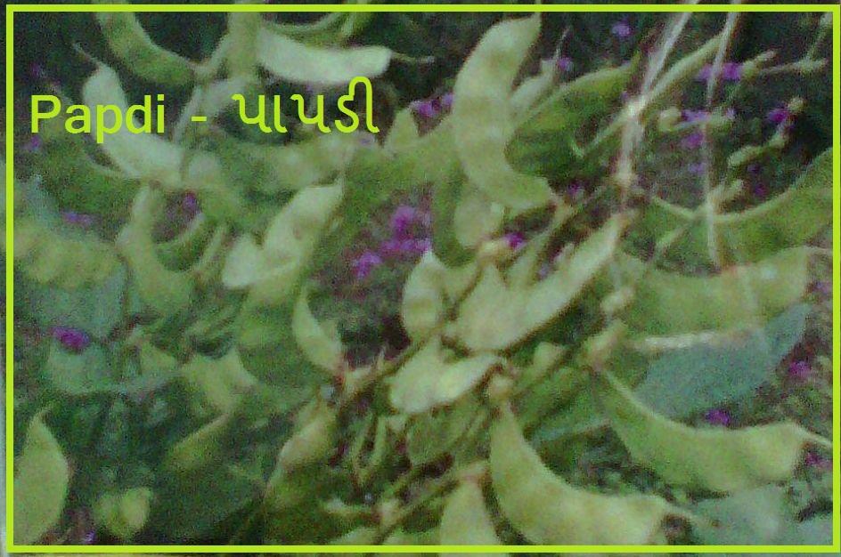 Papdi Vegetable Seeds