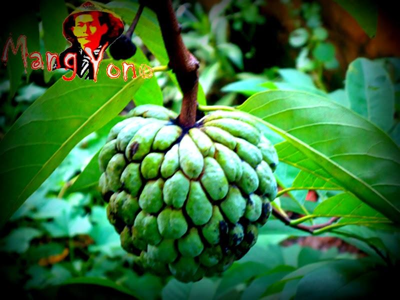 Srikaya atau buah Nona (Annona squamosa)