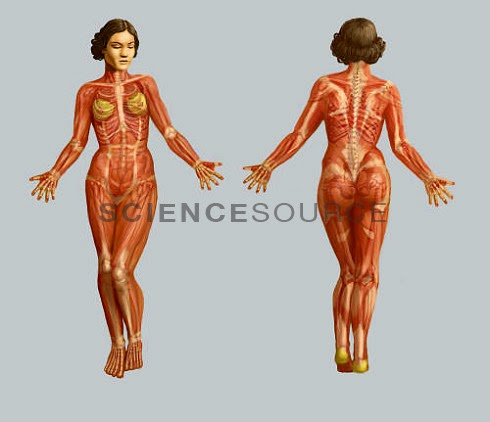 amazing facts about muscular system ~ information about health, Muscles