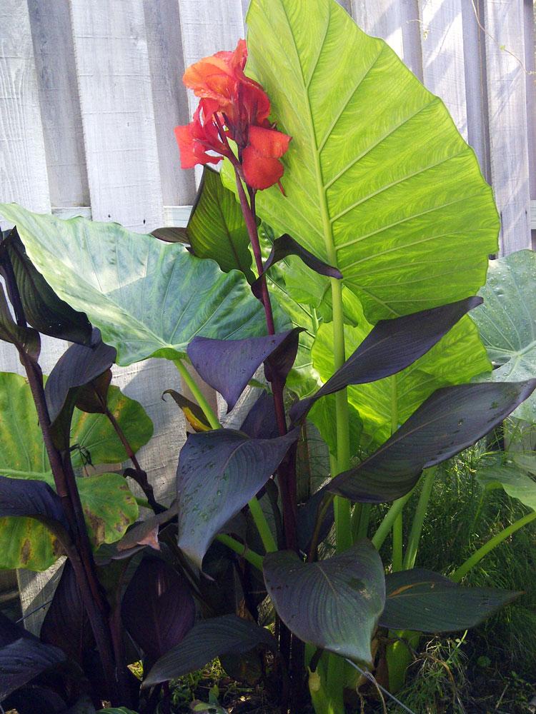 the rainforest garden  tropicanna black