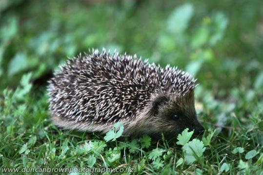Hedgehog in green grass photograph
