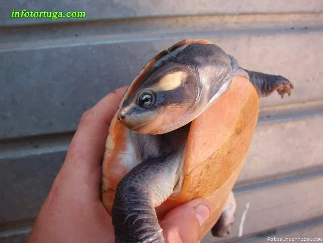 Red-bellied short-necked turtle - Emydura subglobosa