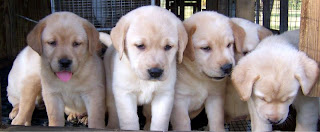 Anakan Anjing Labrador Retriever