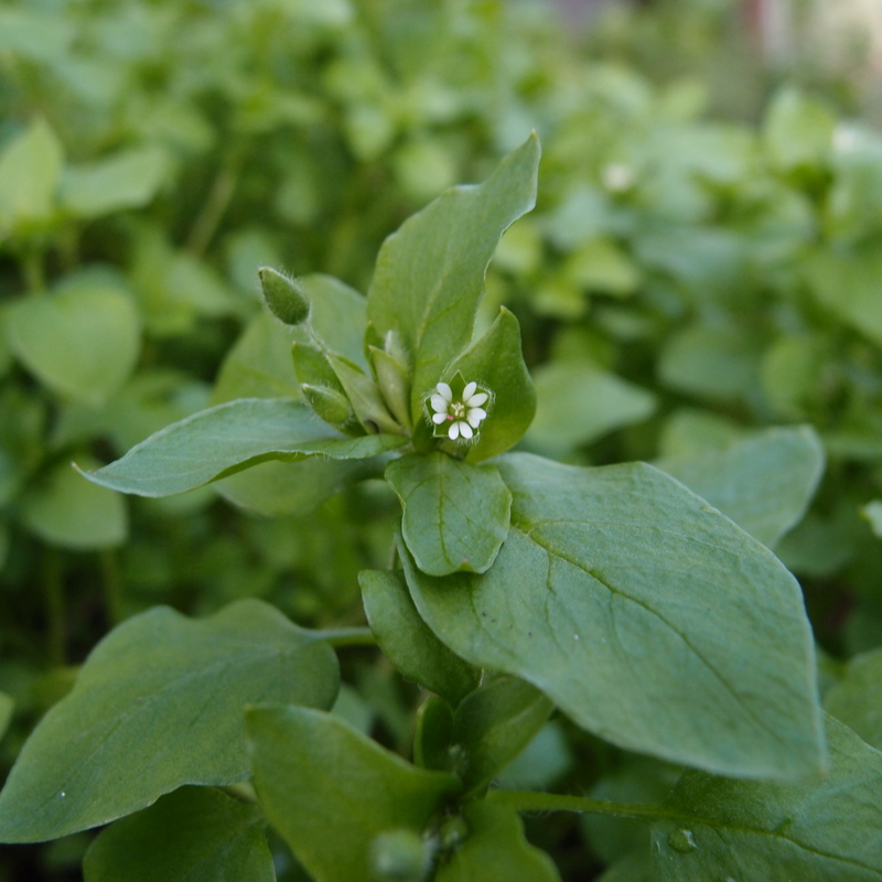 eight acres: how to grow and use chickweed