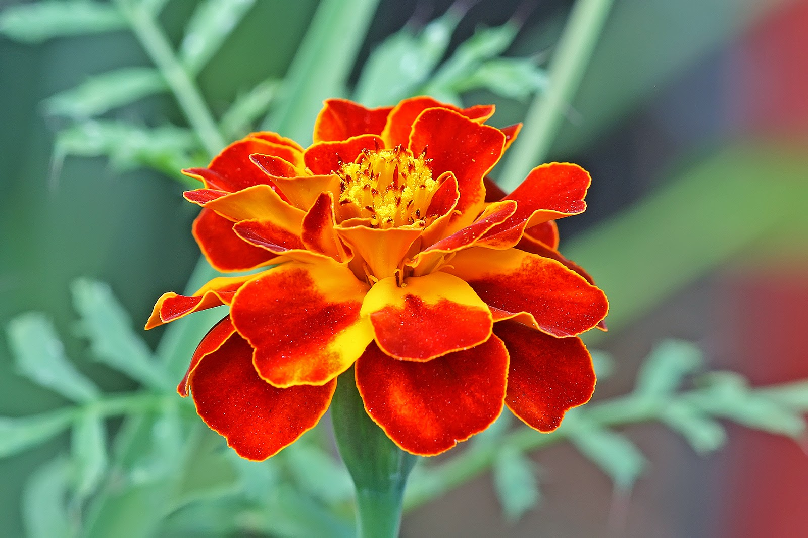 Flower picturess flower pictures marigold is best flowers in world this flowers are seasonal or some are annually and this flower mainly planted winter season form january to march izmirmasajfo