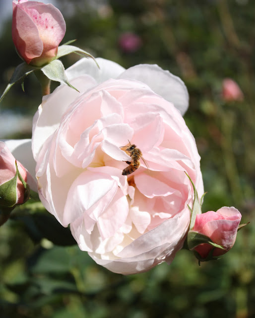 Bee and bliss, photograph, Sarah Myers, S. Myers, arte, rose, insect, art, blossom, bloom, flower, pink, petals, honey, English Rose, plant, floral, animal