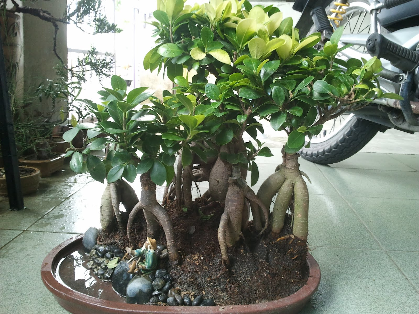 Yanashimi Bonsai