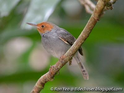 Ashy Tailorbird (Orthotomus ruficeps)