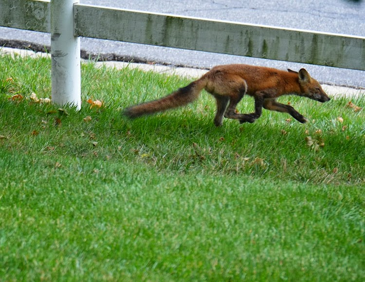 Red Foxes have catlike characteristics