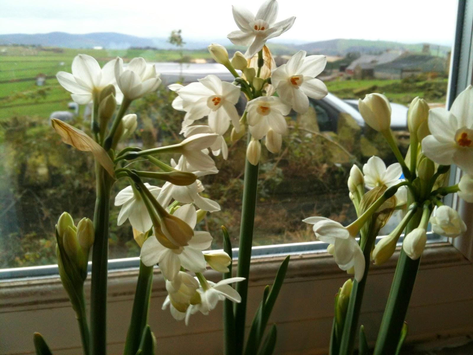 Paper Whites on the windowsill #lifeonpigrow