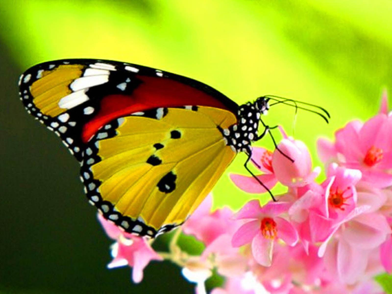 Beautiful Butterfly Wallpaper Desktop Wallpapers