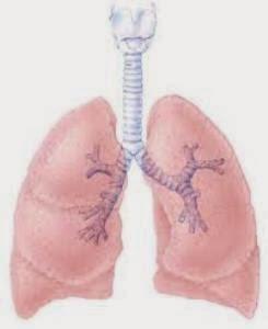http://nurudinsya.blogspot.com/2015/01/paru-paru-merupakan-organ-yang-sangat.html