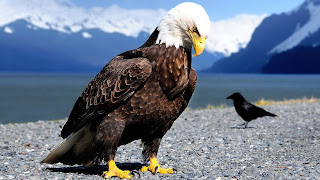Bird Eagle Raven Claws Beaks Feathers Sharpness HD Wallpaper