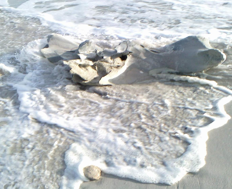 Whale skeleton on beach - photo#7