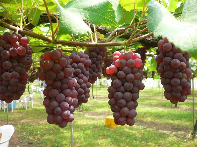 Pohon Anggur Merah