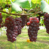 Cara Penanaman Pohon Anggur dalam Alquran