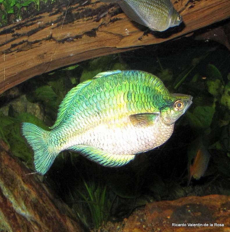 Ricardo 39 s blog melanotaenia lacustris turquoise for Turquoise rainbow fish