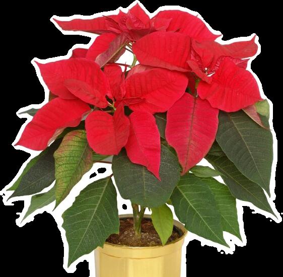 Квітучі рослини