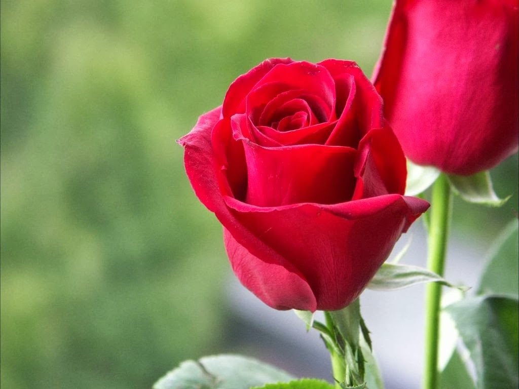 Red Rose Lovehttp My143rose Blogspot Com