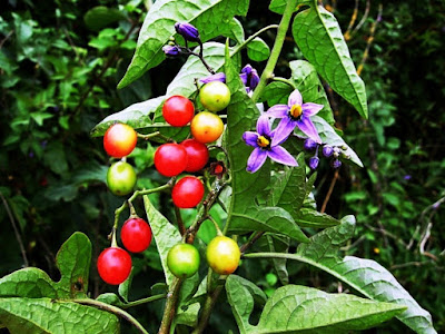 Bittersweet (Solanum Dulcamara) Overview, Health Benefits, Side effects
