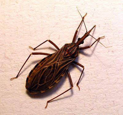 10 serangga paling berbahaya di dunia 641px-Rhodnius_prolixus70-300