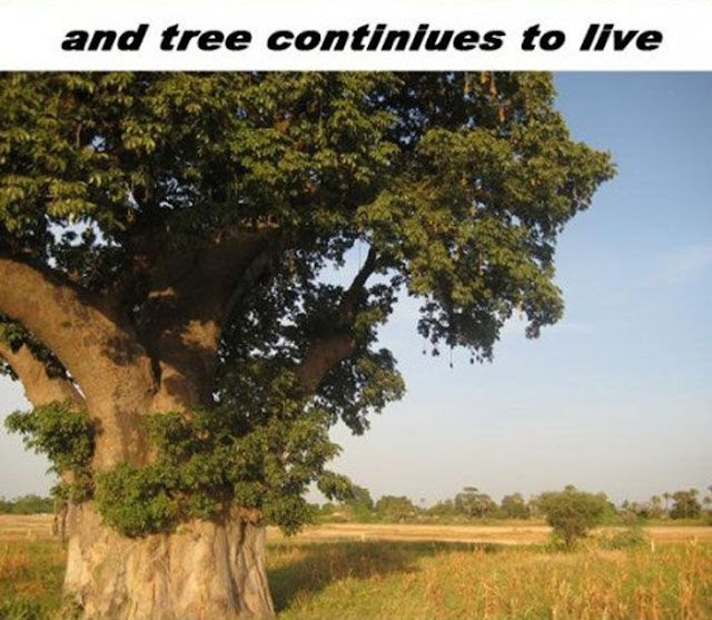 Baobab tree can grow over 140 feet tall and over 50 feet wide. It lives over 5000 years., amazing nature, amazing baobab tree, nature pictures