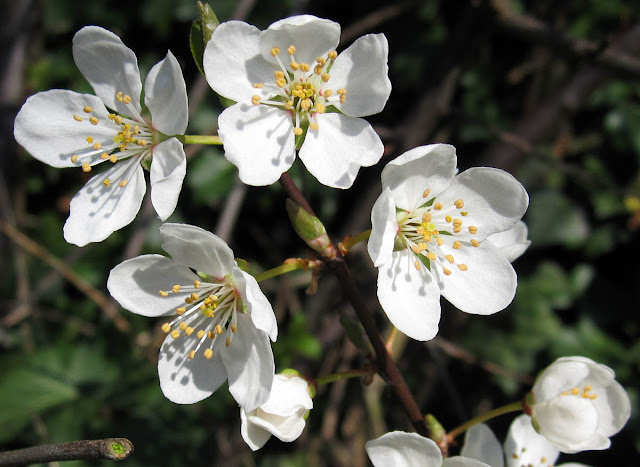 Blackthorn flowers close up