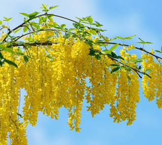 Akazienbaum