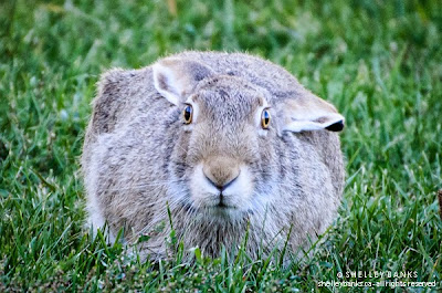Prairie Hare. © Shelley Banks. All Rights Reserved, 2013.