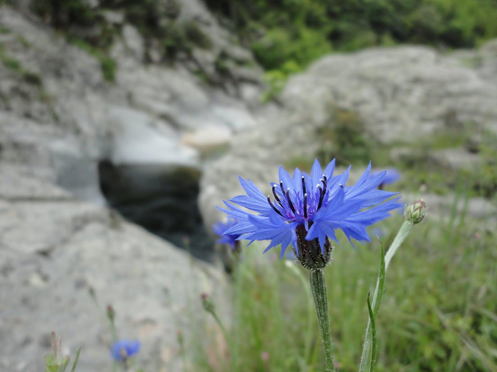 ΤΟ «ΜΕΓΑ ΚΕΝΤΑΥΡΙΟ» (Centaurea cyanus)...
