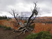 ein noch lebender Baum am Bryce Canyon