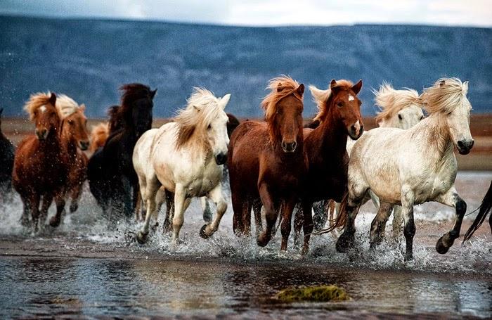 hình ảnh đàn ngựa hoang đẹp
