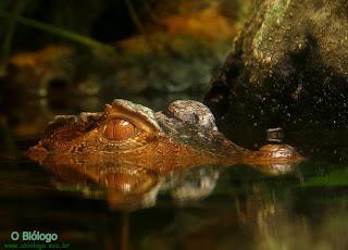 crocodilo-biologia