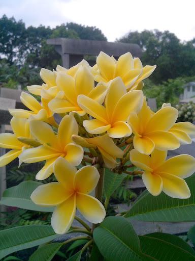 kemboja kuning putih