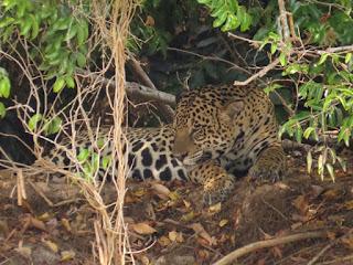 Panthera onca, Jaguar, Adriano